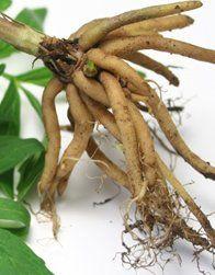 kediotu kökü bitkisi faydaları