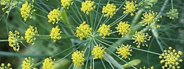 rezene-cayi-bitkisi