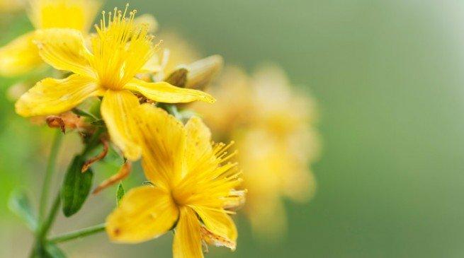 sari-kantaron-bitkisi